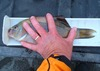 Striped perch caught from the yak thumb
