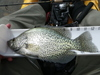 Crappie lake shasta 04 22 11 12 inches r thumb