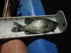9 inch closed mouth crappie thumb