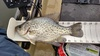 12.5  crappie from lake mendo 15 mar 15 thumb
